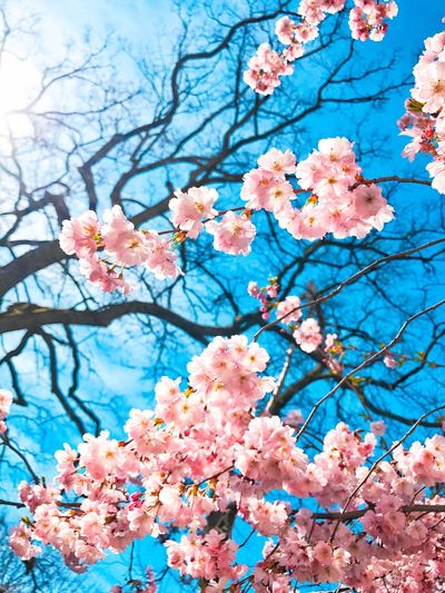 Millennial Pink Hokusai Flower Beauty In Nature Nature Springtime Branch Tree Fragility Blossom Low Angle View Blue Sky No People Growth Pink Color Freshness Cloud - Sky Close-up Twig Cherry Tree Flower Head Sakura Cherry Blossom