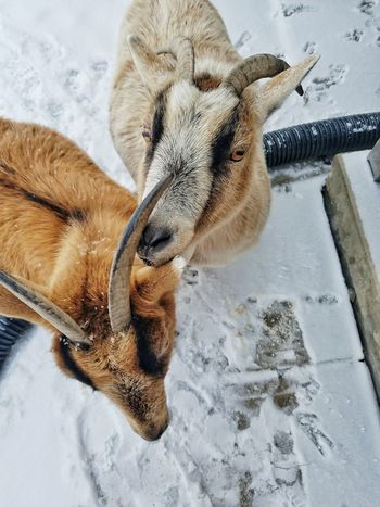 Animals Farm Life Furry Friends Two Animals Togerherness Goats Twins Pets EyeEm Selects Animal Themes Animal Body Part Mammal No People Day Close-up Nature Domestic Animals Winter Snow
