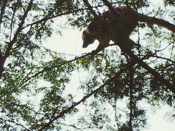 Maki Lémuriens