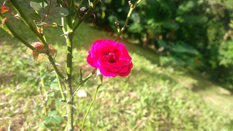 Warm rose Taking Photos Eye4photography  Nature Flowers Enjoying The Sun Relaxing Nature_collection Tropical Paradise