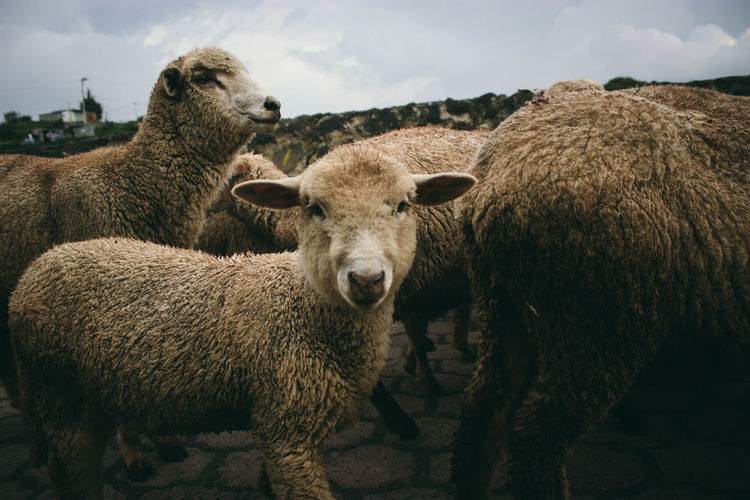 Sheeps passing by. Animal Themes Animals Close-up Day Domestic Animals Herbivorous Herd Journalism Livestock Mammal Nature No People Outdoors Photojournalism Portrait Sheep Sky Travel Wildlife Finding New Frontiers