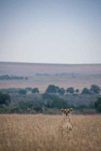 Wait Lions Lion