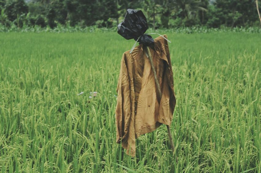 Im lonely ... 😂😂😂 Field Agriculture Grass Growth Outdoors Rear View Rural Scene Day Scarecrow Cereal Plant Nature Rice Paddy Adult People One Person Only Men Agriculture Rice Paddy Rice Farm Be.Ready EyeEmNewHere Indonesian Street (Mobile) Photographie Beauty In Nature Growth Nature Be. Ready.
