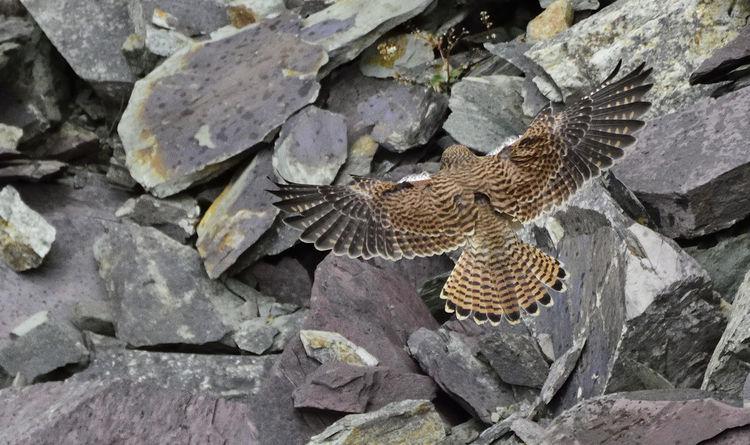 Taken at St David's in Pembrokeshire Beautiful Nature Beauty In Nature Bird Of Prey Bird Photography Birds Of EyeEm  Birds_collection Falco Tinnunculus Juvenile Kestrel Playful Raptor Relaxing