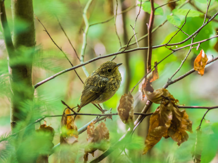 Young robin in