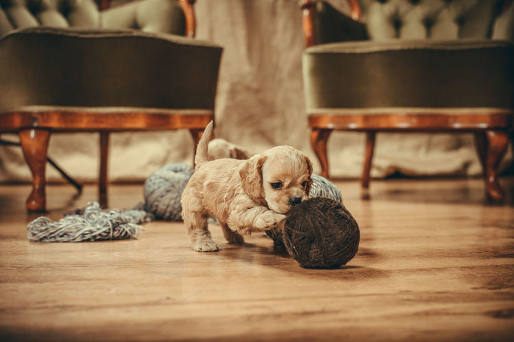 Puppy playing with yarns Cocker Spaniel  Puppy Love Animal Themes Chair Close-up Day Dog Domestic Animals Hardwood Floor Home Interior Indoors  Mammal No People One Animal Pets Playing Puppy Puppy Play Relaxation Sitting Yarns