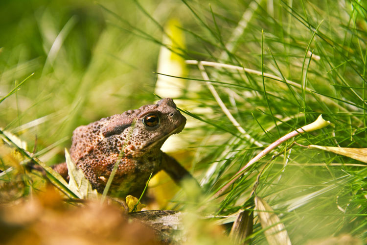 Bufo Bufo Toad Amphibian Animal Animal Themes Animal Wildlife Animals In The Wild Bufo Canon Canonphotography Close-up Day Grass Green Color Nature No People One Animal Plant Selective Focus Vertebrate