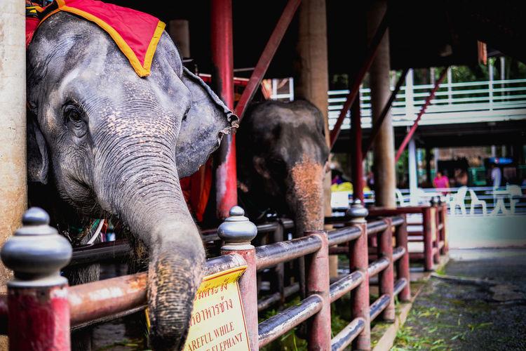 Animal Animal Head  Animal Themes Animal Wildlife Domestic Animals Elephant One Animal