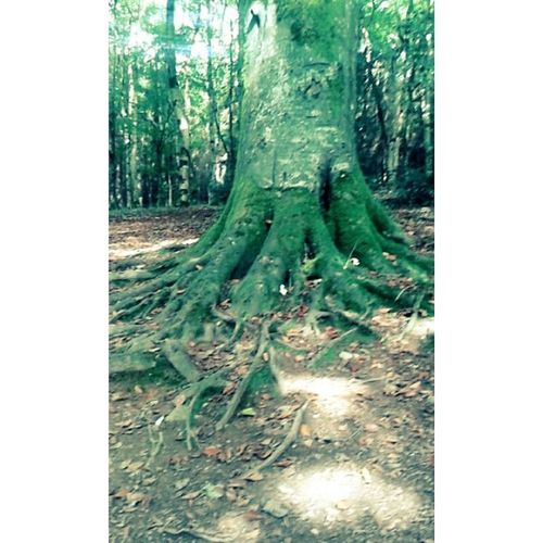 Tress are my fave ☺🌏Trees Roots Old History Nature Outdoors Green Walks Forest Woods Beautiful Rossmore Photography Instaireland Instasize Love 💞
