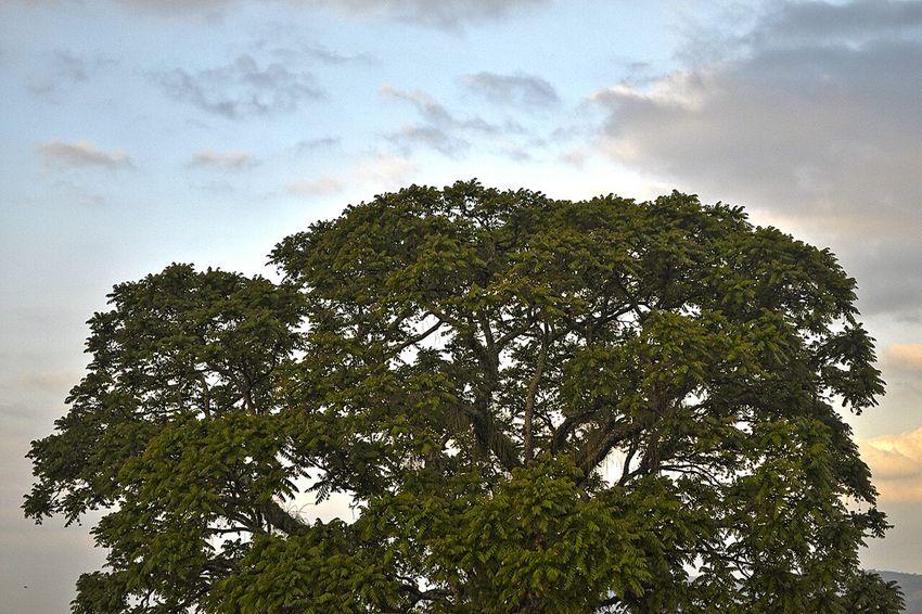Big Tree Nature_collection Ceder Tree Beautiful Tree Pindamonhangaba Sao Paulo - Brazil