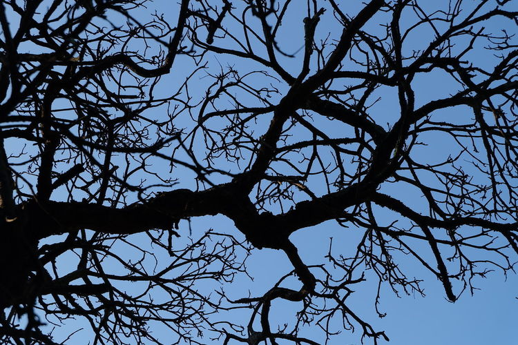 Sky Branch Tree Low Angle View Silhouette Bare Tree Plant No People Nature Tranquility Beauty In Nature Clear Sky Outdoors Day Growth Scenics - Nature Blue Backgrounds Sunlight Tranquil Scene