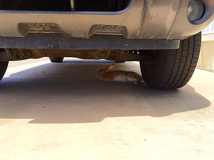 "Was on my way to a meeting this afternoon, and who is taking a siesta under my truck ""Buster"" the Wild Cottontail Rabbit. Took me forever to get him to move from beneath my truck, but who could blame him it was 98° out here.🐇🌞🔥 (https://paypal.me/pools/c/83C98Mcfza) Funny Moments Bunny  Stuborn Hot Day Outside IPhone Photography Siesta Time Cottontail Rabbit Transportation Land Wheel Mode Of Transportation Tire Nature Sunlight Outdoors Close-up Motor Vehicle"