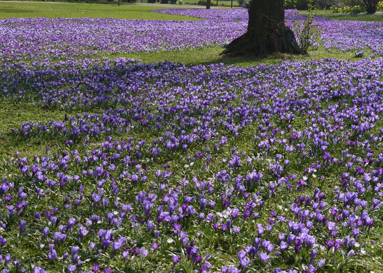 Agriculture Beauty In Nature Crocus Day Field Flower Flower Head Freshness Growth Lavender Colored Nature No People Outdoors Park Life Park Life Purple Purple Flower Purple Flowers Purple River Scenics Sea Of Crocuse Sea Of Flowers Spring Time