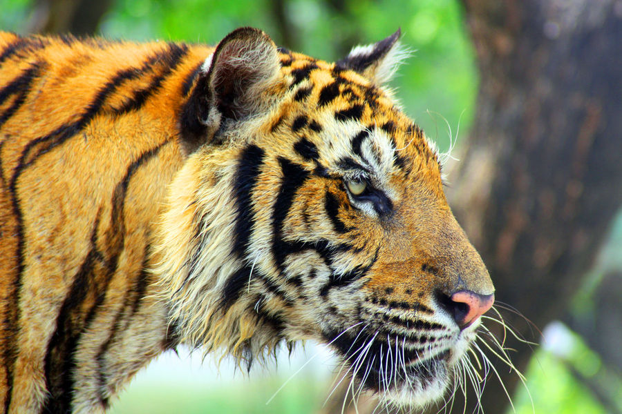 The bengal tiger Animal_collection Tigers The EyeEm Facebook Cover Challenge My Best Photo 2014 Orange By Motorola