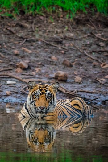 A male tiger cub with reflection in water at Ranthambore Tiger Reserve, India Panthera Tigris Background Tiger Expression Looking At Camera Forest Jungle Safari Rain Monsoon Reflection Face Ranthambore National Park Stripes Endangered Animal Striped Portrait Habitat Carnivora Animal Animal Themes One Animal Nature No People Animal Wildlife Animals In The Wild Outdoors Water Close-up Sunlight