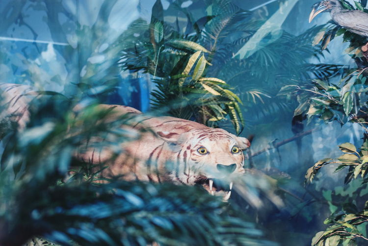 Tiger roaring amidst plants in forest
