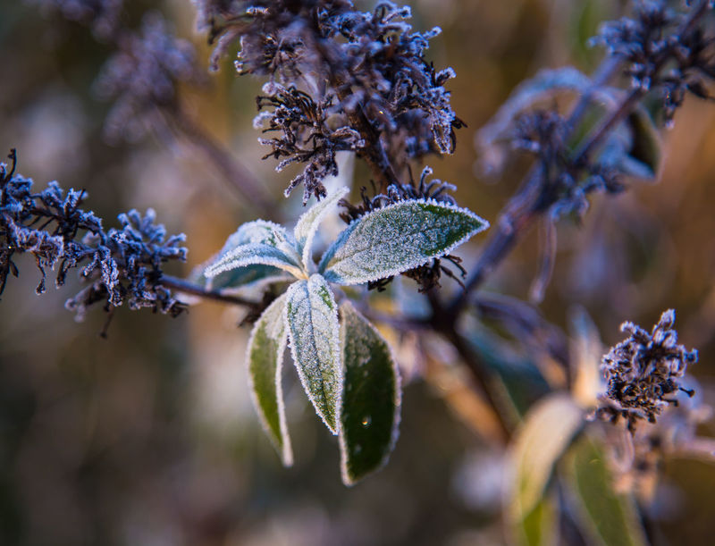 Summer Lilac in Wintertime, always a pleasure Beauty In Nature Botany Branch Close-up Cold EyeEm Nature Lover EyeEmNewHere Flower Flower Head Fragility Fresh Freshness Frozen Green Growth Leaves Macro Morning Nature New No People Plant Summer Lilac Sun Winter