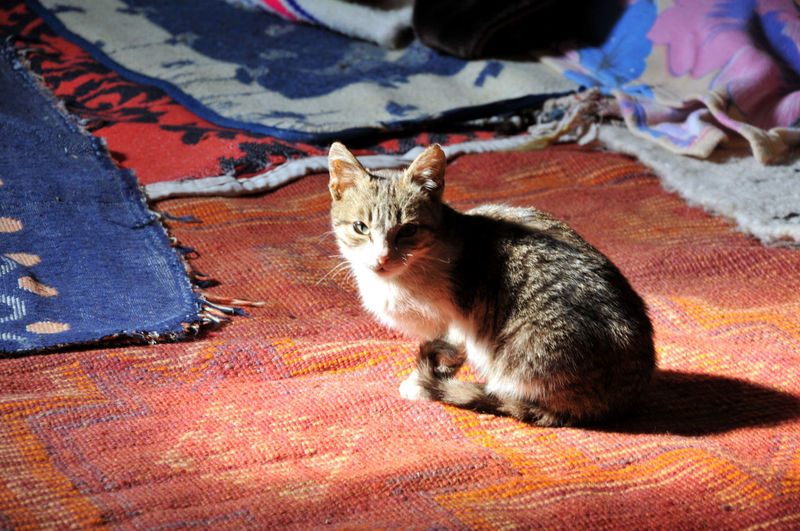 High angle portrait of cat relaxing on carpet at home
