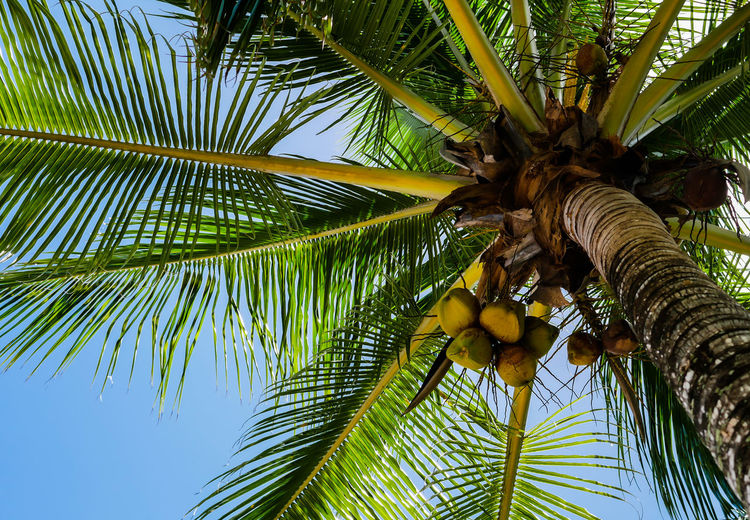 Upward view of a palm tree with coconuts Coconut Cuba Exotic Holiday Travel Tropics Vacations Beach Blue Sky Caribbean Destination Good Vibes Island Low Angle View Nature No People Outdoors Palm Leaf Palm Tree Paradise Relax Sky Tree Tree Trunk Tropical Climate EyeEmNewHere Summer Exploratorium