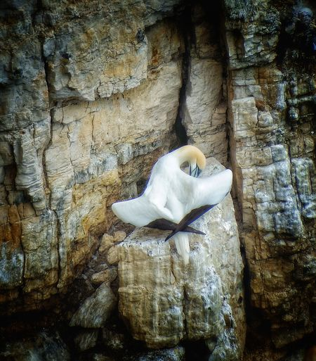 """""""Architecture in nature"""" Beauty In Nature Colony, Fishing,diving,speed, Gannet Piercing Blue Eyes, Cliffs, Ocean,granite,colony, Protecting,stunning, Selective Focus Wingspread,"""
