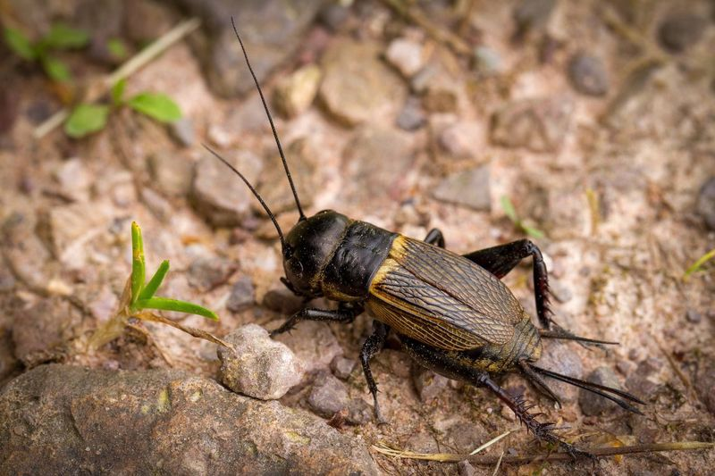 Cricket on a forest path Animal Themes Animal Invertebrate Animal Wildlife Insect Animals In The Wild One Animal