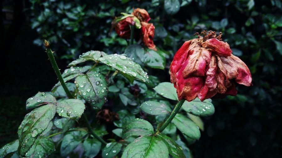Roses on rainy days. Rainy Day Rainy RainyDay Rainy Weather Roses Rose - Flower Outdoors Nature