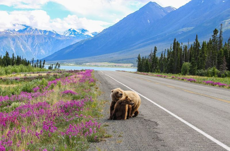 Bears on road amidst mountains