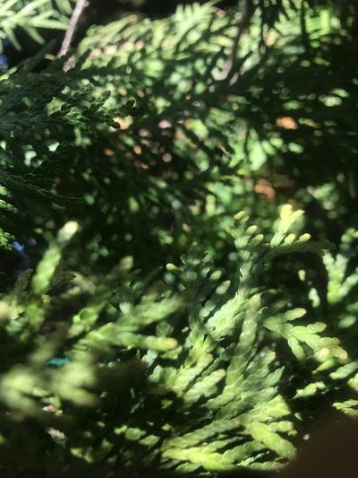 Plant Tree Growth No People Nature Close-up Beauty In Nature Green Color Day Selective Focus Pine Tree Focus On Foreground