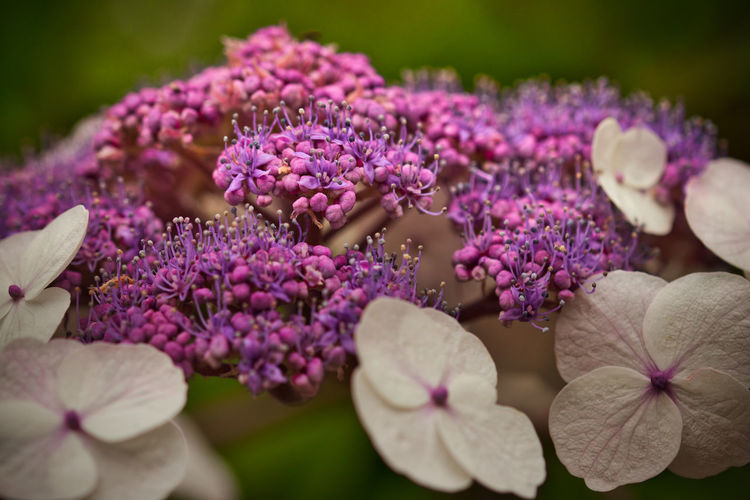 Flower Flowering Plant Plant Vulnerability  Beauty In Nature Growth Freshness Fragility Petal Close-up Purple Flower Head Inflorescence Selective Focus No People Nature Day Botany Hydrangea Outdoors Bunch Of Flowers Lilac Blüten Blütenzauber Blütenpracht Hortensia Lila Sommer Nature Nature_collection Nature Photography Blumenfotografie