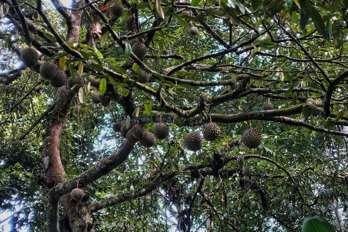 Tree Growth Low Angle View Nature Beauty In Nature Branch No People Green Color Outdoors Tranquility Backgrounds Day Sky Durian Durian Fruit Durians Durians Shop Durian Cake King Of Fruit King Of Fruits King Of Fruits...Musang King Durian Hybrid Fruit Fruits Fruitporn Trees