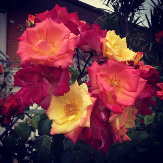 Rosa Flower Spring Color