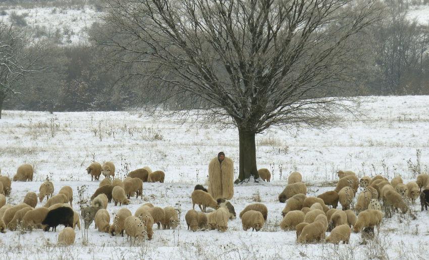 Animal Themes Domestic Animals Flock Of Sheep Livestock Sheeps Shepherd And Sheep, Snow Winter Sheep