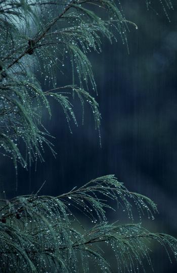 Soft rain on she oak fronds