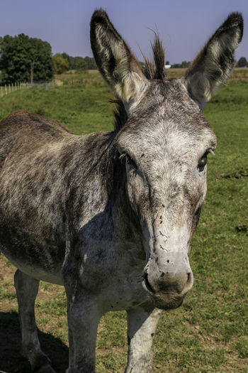 Mule and I staring at each other. Equidae Animal Animal Body Part Animal Head  Animal Themes Close-up Domestic Domestic Animals Equus Grevyi Field Grass Herbivorous Jenny Land Livestock Mammal Mule Nature No People Odd-toed Ungulate One Animal Outdoors Portrait Vertebrate