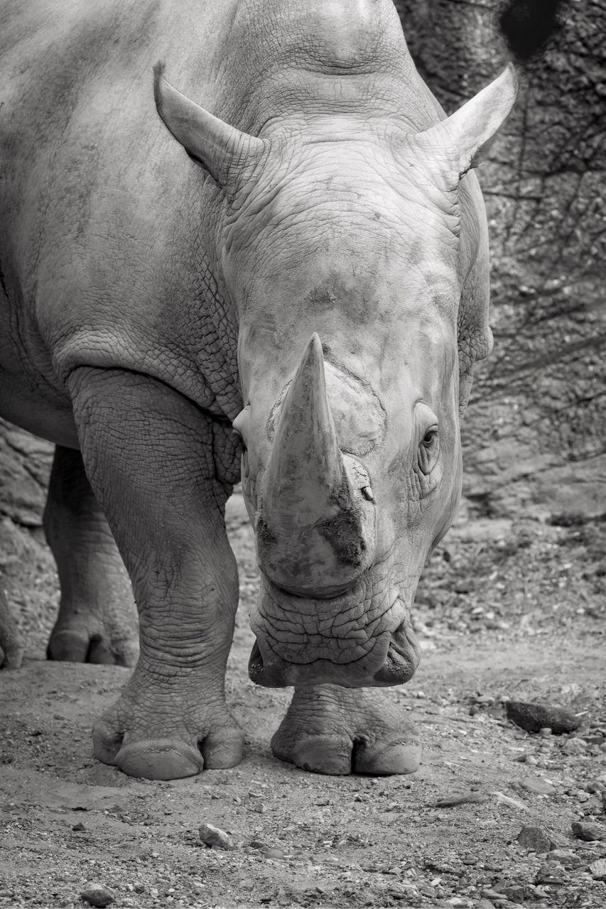 animal themes, one animal, animals in the wild, mammal, animal wildlife, rhinoceros, outdoors, day, safari animals, nature, no people, close-up