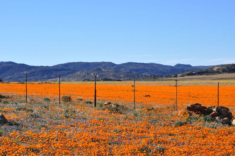 Namaqualand Daisies colouring the fields of the Kamieskroon mountains. How pretty! Daisy Namaqualand Daisies Orange Fields Mountains Flower Season Breathtaking View Fence Beautiful Nature Nature Photography Mountain Rural Scene Agriculture Working Sky Farmland