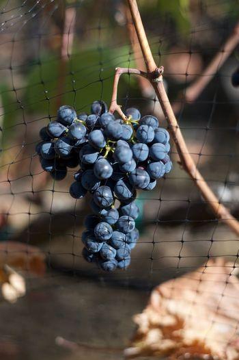 Close-Up Of Bunch Of Grapes At Vineyard