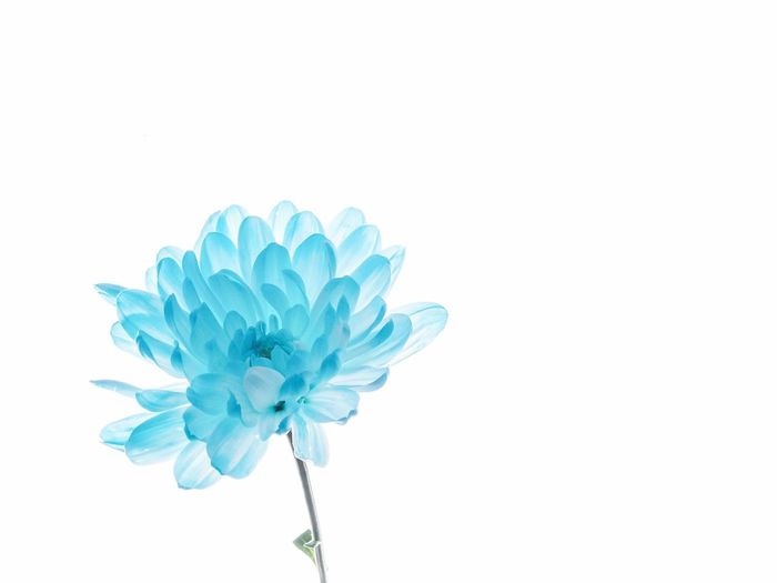 Flower Studio Shot Blue Close-up Beauty In Nature Flower Indoors  Flowering Plant Turquoise Colored Flower Head Petal White Background Growth Plant