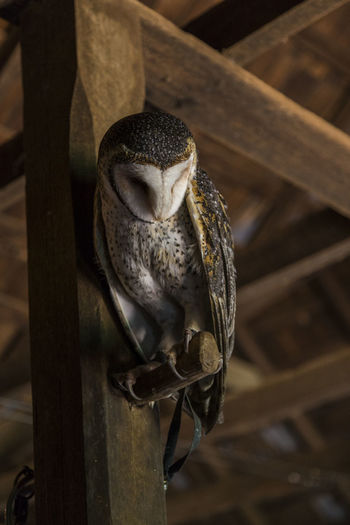 Low angle view of barn owl perching on nail