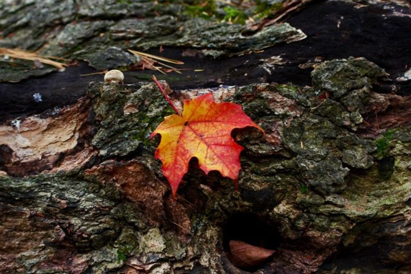 EyeEm Best Shots EyeEm Nature Lover EyeEm Best Shots - Nature Beautiful Nature Autumn Maple Leaf Fall Beauty Oh Canada..