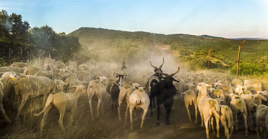 Andalucía Nature Ganadería Extensiva Jaen Province Ovejas Patrimonio Etnológico Sheep Sheeps Sheeps. Trashumancia TrashumanciaJaén