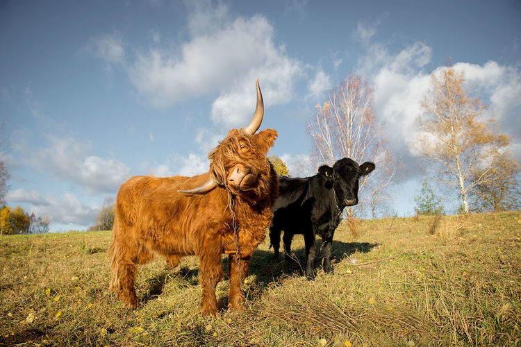 brown and black bull posing in a beautiful autumn landscape Agriculture Animal Animal Portrait Beast Brown And Black Brown Bull Bull Cattle Breeding Clouds Countryside Couple Couples Domestic Animals EyeEmNewHere Field Food And Drink GREEN LIFE Mammal Meat Pasture Portrait Sky Twoo Bulls Veal