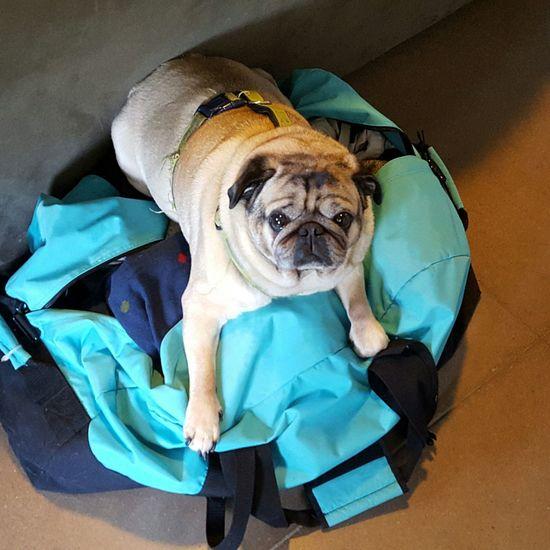 Pug laying claim to my bag Doglife Dogslife Closeupshot Pug Puglove  Puglife Gymbag Resting Place Funnydog
