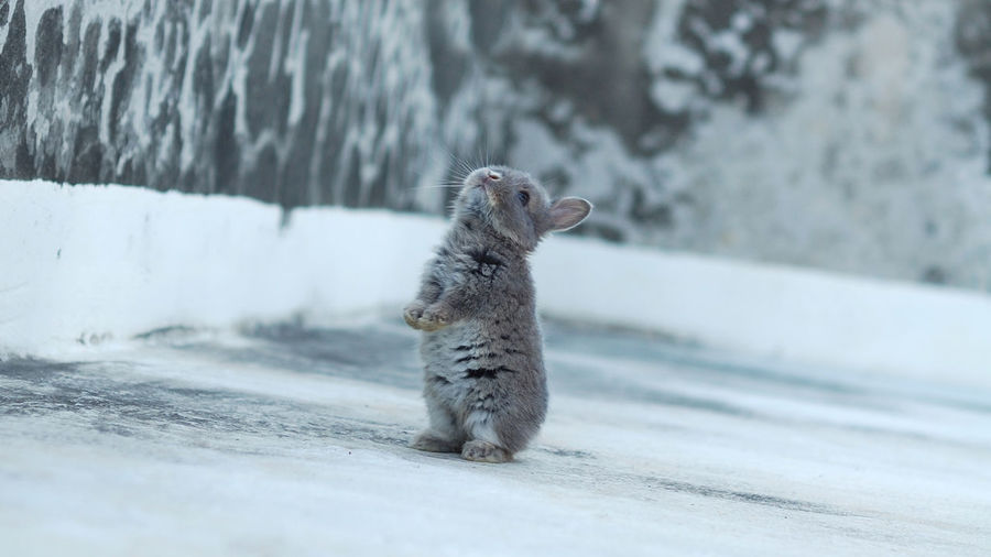 Close out rabbit on snow