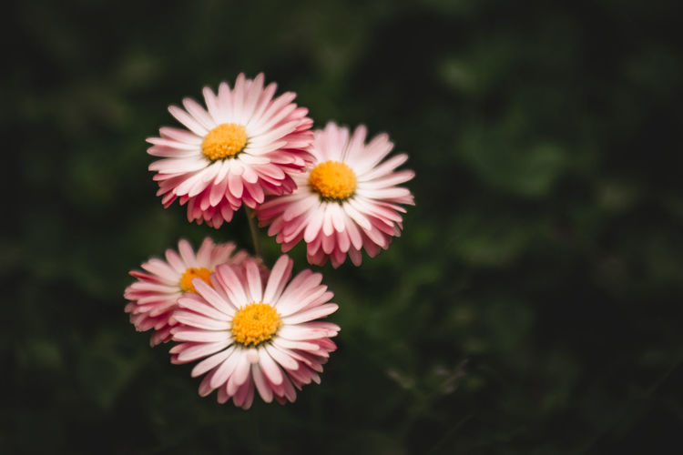 red and white chamomile Chamomile Spring Forest Beauty In Nature Fairytale  Flower Head Flower Multi Colored Yellow Pink Color Petal Summer Uncultivated Close-up Sky Cosmos Flower Flowering Plant In Bloom Botany Blooming Blossom Daisy The Still Life Photographer - 2018 EyeEm Awards My Best Photo