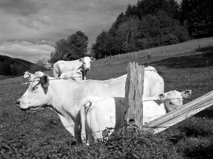 Cows and calves on grassy field