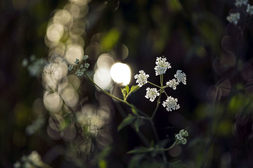 Beauty In Nature Close-up Day Flower Flower Head Flowering Plant Focus On Foreground Fragility Freshness Growth High Angle View Inflorescence Nature No People Outdoors Petal Plant Selective Focus Vulnerability  White Color