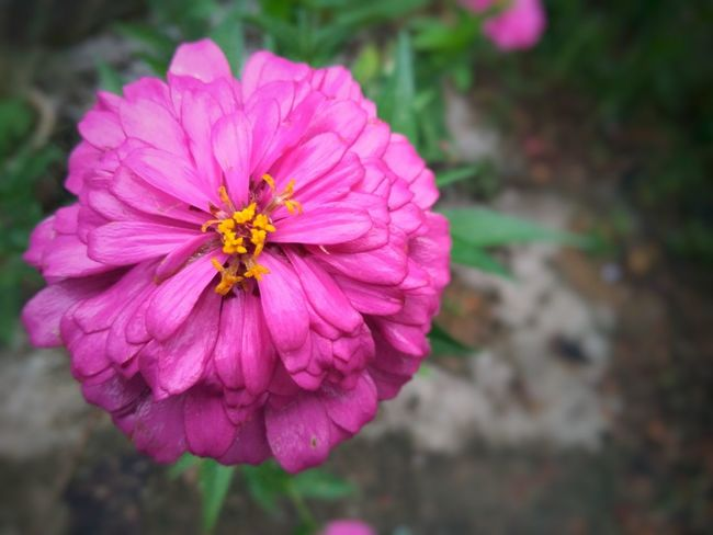 Green Earth Bloom Blossom Rare Species Flower Flower Head Flower Zinnia  Pink Color Petal Pollen Close-up Plant Blooming