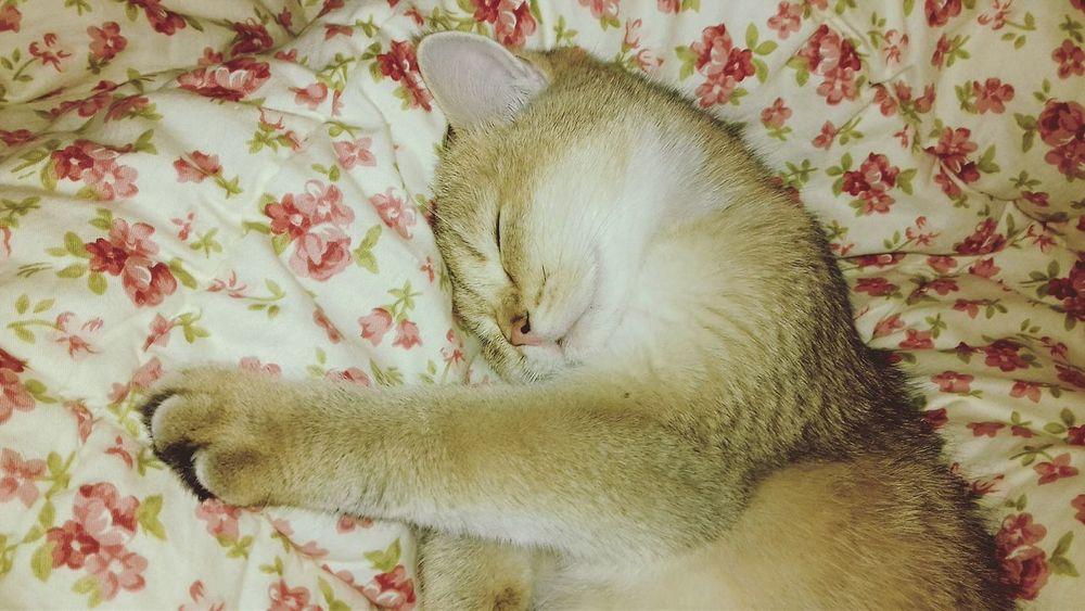 Britishcat Britishcats британцы британская Cat Cat Lovers First Eyeem Photo Butiful