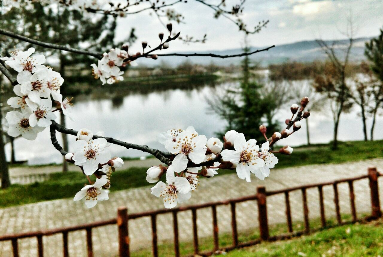 flower, tree, beauty in nature, fragility, growth, nature, blossom, branch, freshness, apple blossom, springtime, apple tree, white color, petal, no people, twig, day, flower head, outdoors, focus on foreground, blooming, tranquility, plum blossom, lake, sky, close-up, water